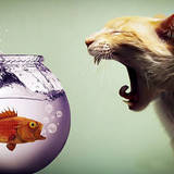 miniature Chat vs poisson rouge