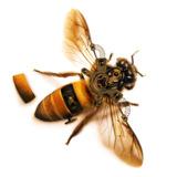 miniature Dessiner une abeille steampunk